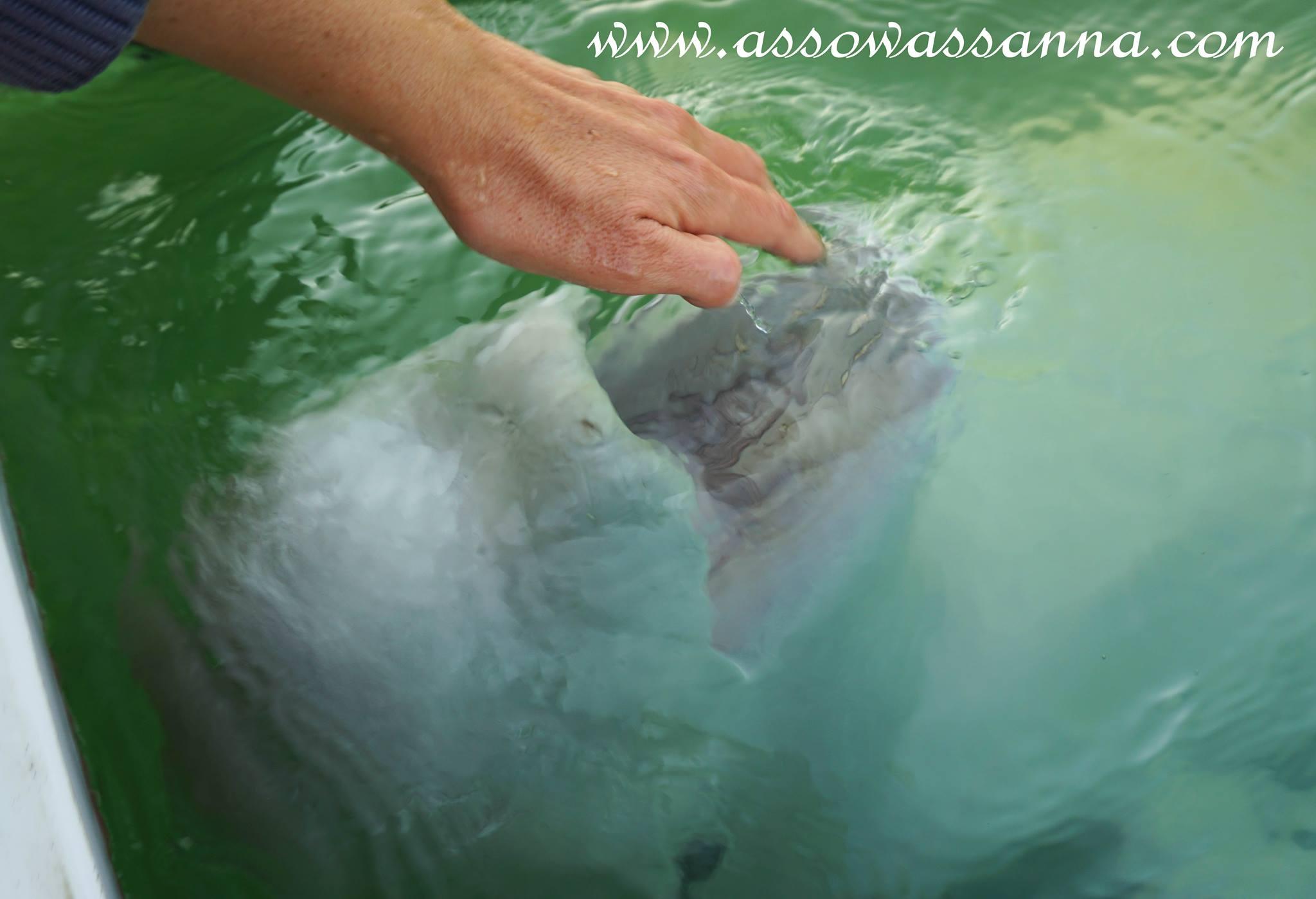 beluga bouche